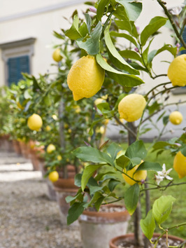 _potted-lemon-trees