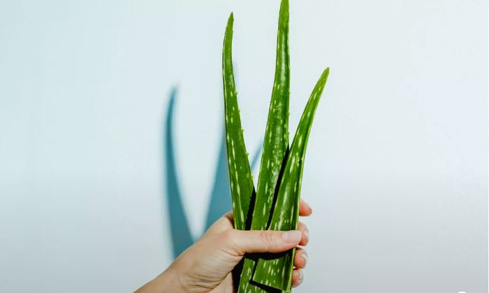 7 Surprising Beauty Benefits of Aloe Vera